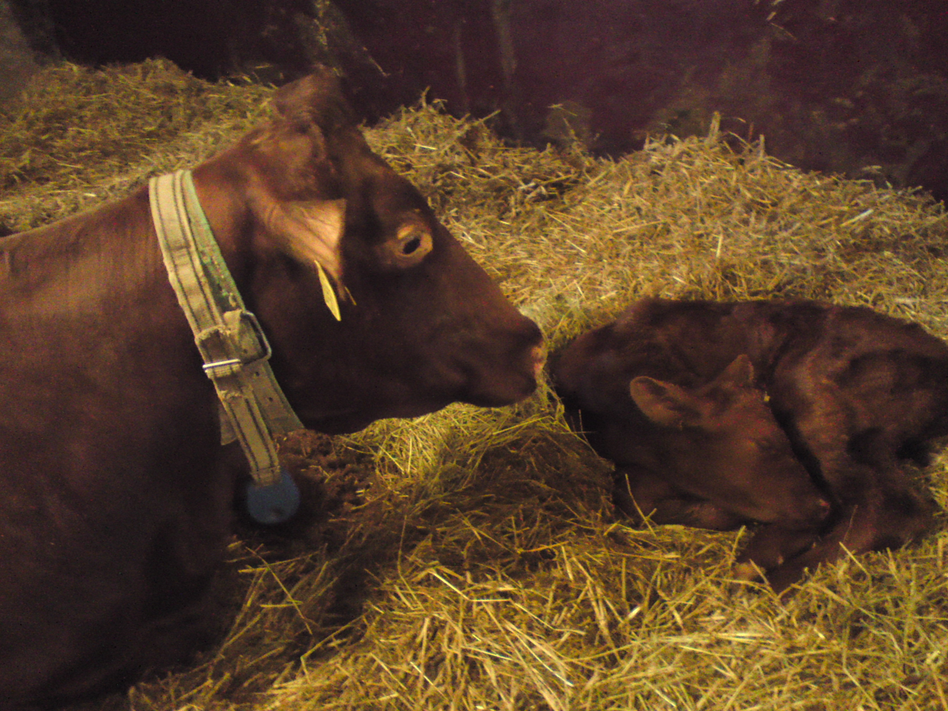 Krona är sjuk men ändå rätt så pigg och slickar på sin nyfödda kalv