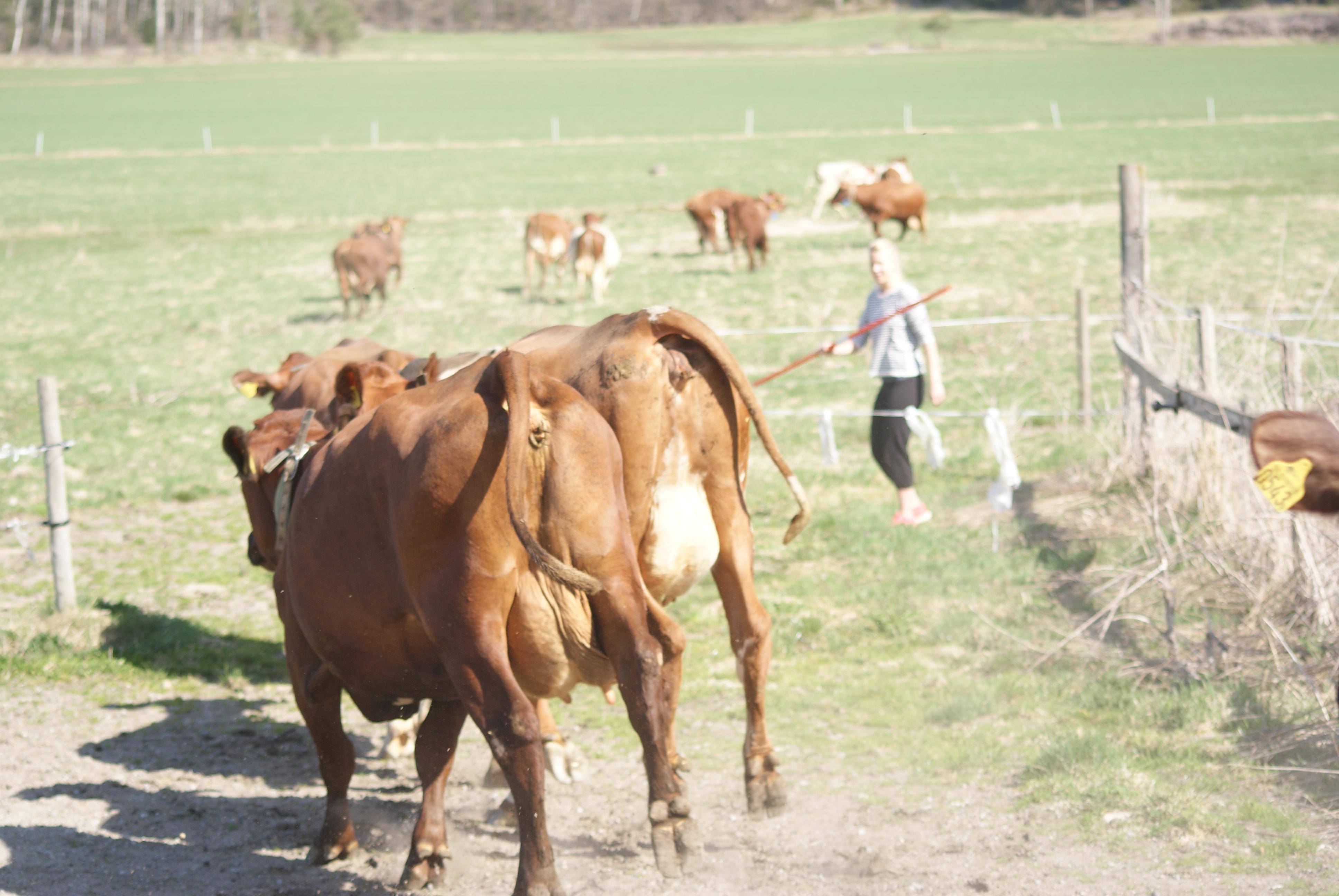 Alla kor sprang glatt ut i hagen.